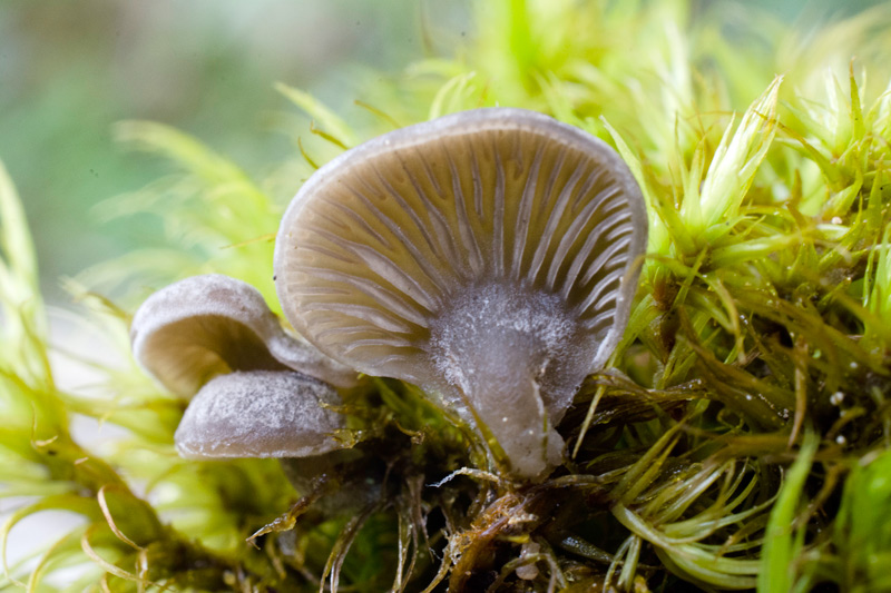 Photographie « Arrhenia-acerosa-w-site » de l'espèce « Arrhenia acerosa (Fr. : Fr.) Kühner »