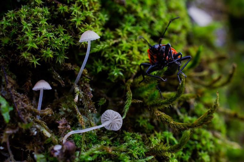 Photographie « Mycena-pseudocorticola-w » de l'espèce « Mycena pseudocorticola Kühner »