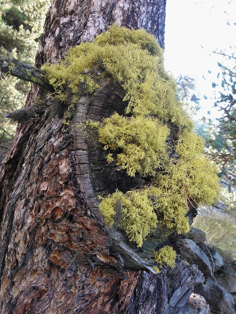 Photographie « lichensurpin » de l'espèce « Letharia vulpina (L.) hue »
