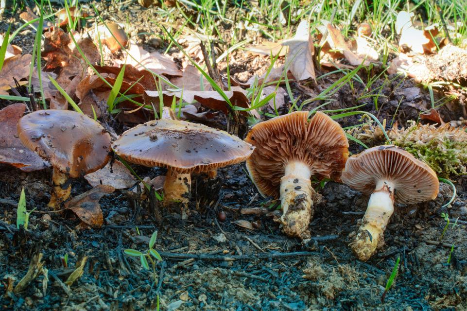 Photographie « hygrophorus-persoonii » de l'espèce « Hygrophorus persoonii Arnolds »