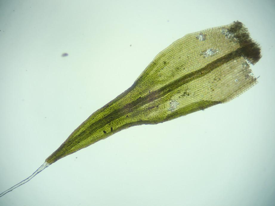 Photographie « Grimmia_alpestris_feuille_TD » de l'espèce « Grimmia alpestris (F.Weber & D.Mohr) Schleich. »