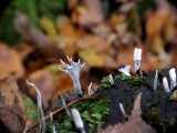 Photo de l'observation « Xylaria hypoxylon (Linnaeus ex Fries) Greville »