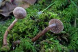 Photo de l'observation « Cortinarius bibulus Quélet »