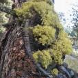 Miniature « lichensurpin » de l'espèce « Letharia vulpina (L.) hue »