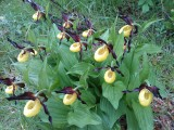Photo de l'observation « Cypripedium calceolus L., 1753 »