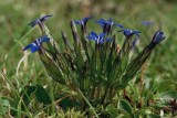 Photo de l'observation « Gentiana nivalis L., 1753 »